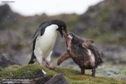 Pygoscelis_adeliae.182.King-George-Is.South-Shetland-Islands.Antarctica.18.01.2019