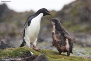 Pygoscelis_adeliae.183.King-George-Is.South-Shetland-Islands.Antarctica.18.01.2019