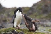 Pygoscelis_adeliae.184.King-George-Is.South-Shetland-Islands.Antarctica.18.01.2019