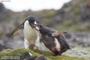Pygoscelis_adeliae.185.King-George-Is.South-Shetland-Islands.Antarctica.18.01.2019