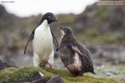 Pygoscelis_adeliae.186.King-George-Is.South-Shetland-Islands.Antarctica.18.01.2019