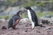 Pygoscelis_adeliae.187.King-George-Is.South-Shetland-Islands.Antarctica.18.01.2019