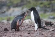 Pygoscelis_adeliae.188.King-George-Is.South-Shetland-Islands.Antarctica.18.01.2019