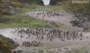 Pygoscelis_adeliae.190.King-George-Is.South-Shetland-Islands.Antarctica.20.01.2019