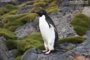 Pygoscelis_adeliae.194.King-George-Is.South-Shetland-Islands.Antarctica.17.01.2019