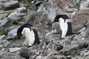 Pygoscelis_adeliae.196.King-George-Is.South-Shetland-Islands.Antarctica.17.01.2019