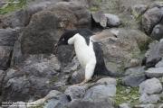 Pygoscelis_adeliae.197.King-George-Is.South-Shetland-Islands.Antarctica.20.01.2019