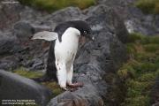 Pygoscelis_adeliae.199.King-George-Is.South-Shetland-Islands.Antarctica.17.01.2019
