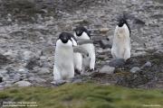 Pygoscelis_adeliae.200.King-George-Is.South-Shetland-Islands.Antarctica.17.01.2019
