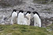 Pygoscelis_adeliae.202.King-George-Is.South-Shetland-Islands.Antarctica.17.01.2019