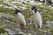 Pygoscelis_adeliae.204.King-George-Is.South-Shetland-Islands.Antarctica.25.01.2019