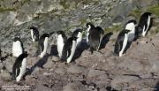 Pygoscelis_adeliae.206.King-George-Is.South-Shetland-Islands.Antarctica.22.01.2019