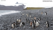 Pygoscelis_adeliae.207.King-George-Is.South-Shetland-Islands.Antarctica.17.01.2019