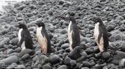 Pygoscelis_adeliae.208.King-George-Is.South-Shetland-Islands.Antarctica.17.01.2019