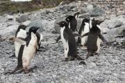 Pygoscelis_adeliae.209.King-George-Is.South-Shetland-Islands.Antarctica.17.01.2019