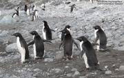 Pygoscelis_adeliae.210.King-George-Is.South-Shetland-Islands.Antarctica.17.01.2019