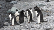 Pygoscelis_adeliae.214.King-George-Is.South-Shetland-Islands.Antarctica.17.01.2019