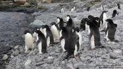 Pygoscelis_adeliae.215.King-George-Is.South-Shetland-Islands.Antarctica.17.01.2019