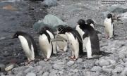 Pygoscelis_adeliae.216.King-George-Is.South-Shetland-Islands.Antarctica.17.01.2019