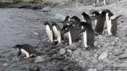 Pygoscelis_adeliae.217.King-George-Is.South-Shetland-Islands.Antarctica.17.01.2019