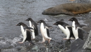 Pygoscelis_adeliae.218.King-George-Is.South-Shetland-Islands.Antarctica.17.01.2019