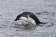 Pygoscelis_adeliae.222.King-George-Is.South-Shetland-Islands.Antarctica.20.01.2019