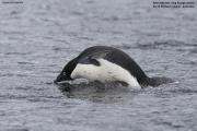 Pygoscelis_adeliae.223.King-George-Is.South-Shetland-Islands.Antarctica.20.01.2019