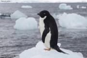 Pygoscelis_adeliae.224.King-George-Is.South-Shetland-Islands.Antarctica.19.01.2019