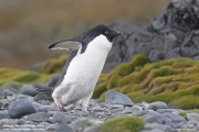 P.adeliae027.King George Is.South Shetland Islands.Antarctica.20.01.2019