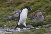 P.adeliae035.King George Is.South Shetland Islands.Antarctica.28.01.2019