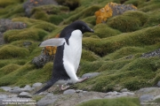 P.adeliae036.King George Is.South Shetland Islands.Antarctica.28.01.2019