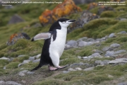 057.005.Pygoscelis_antarcticus001.King_George_Is.South_Shetland_Islands.Antarctica.28.01.2019
