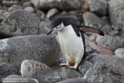 Pygoscelis antarcticus037.King George Is.South Shetland Islands.Antarctica.31.01.2019