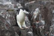 Pygoscelis antarcticus038.King George Is.South Shetland Islands.Antarctica.31.01.2019