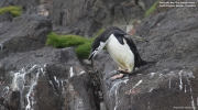 Pygoscelis antarcticus039.King George Is.South Shetland Islands.Antarctica.31.01.2019