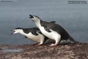 Pygoscelis antarcticus045.King George Is.South Shetland Islands.Antarctica.24.01.2019