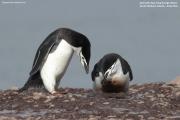 Pygoscelis antarcticus048.King George Is.South Shetland Islands.Antarctica.24.01.2019