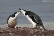 Pygoscelis antarcticus049.King George Is.South Shetland Islands.Antarctica.24.01.2019