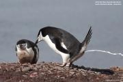 Pygoscelis antarcticus051.King George Is.South Shetland Islands.Antarctica.24.01.2019