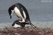 Pygoscelis antarcticus053.King George Is.South Shetland Islands.Antarctica.24.01.2019