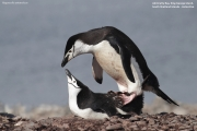 Pygoscelis antarcticus056.King George Is.South Shetland Islands.Antarctica.24.01.2019