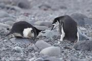 Pygoscelis antarcticus058.King George Is.South Shetland Islands.Antarctica.28.01.2019