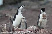 Pygoscelis antarcticus062.King George Is.South Shetland Islands.Antarctica.28.01.2019