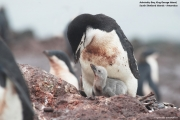 Pygoscelis antarcticus063.King George Is.South Shetland Islands.Antarctica.22.01.2019