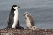 Pygoscelis antarcticus070.King George Is.South Shetland Islands.Antarctica.24.01.2019