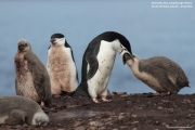 Pygoscelis antarcticus073.King George Is.South Shetland Islands.Antarctica.24.01.2019