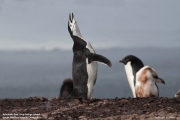 Pygoscelis antarcticus077.King George Is.South Shetland Islands.Antarctica.24.01.2019