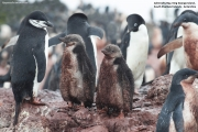 Pygoscelis antarcticus079.King George Is.South Shetland Islands.Antarctica.22.01.2019