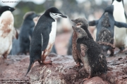 Pygoscelis antarcticus080.King George Is.South Shetland Islands.Antarctica.22.01.2019