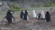 Pygoscelis antarcticus086.King George Is.South Shetland Islands.Antarctica.31.01.2019